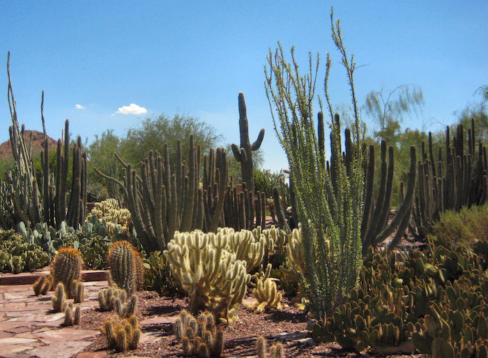 Cacti and Succulents at Desert Botanical Gardens in Arizona