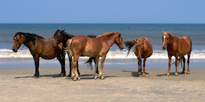 Wild Horses on the Beach Near Beaufort, NC
