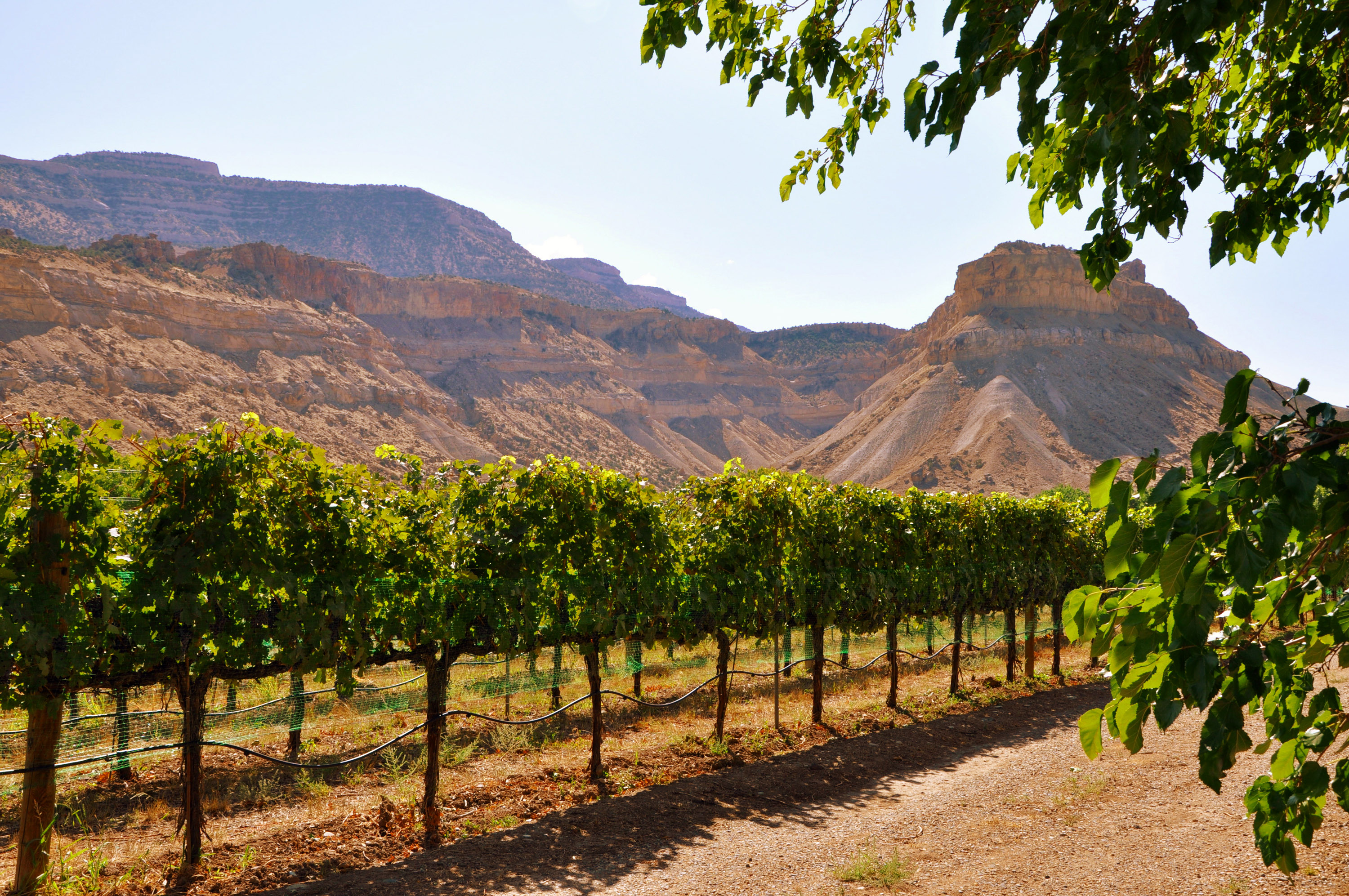Vineyard in Grand Junction, CO