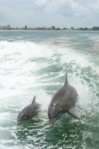 Dolphins playing in wake of boat off Saint Petersburg Florida