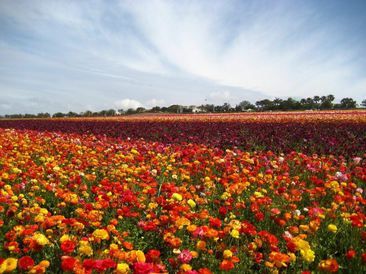 Visit The Flower Fields of Carlsbad, CA