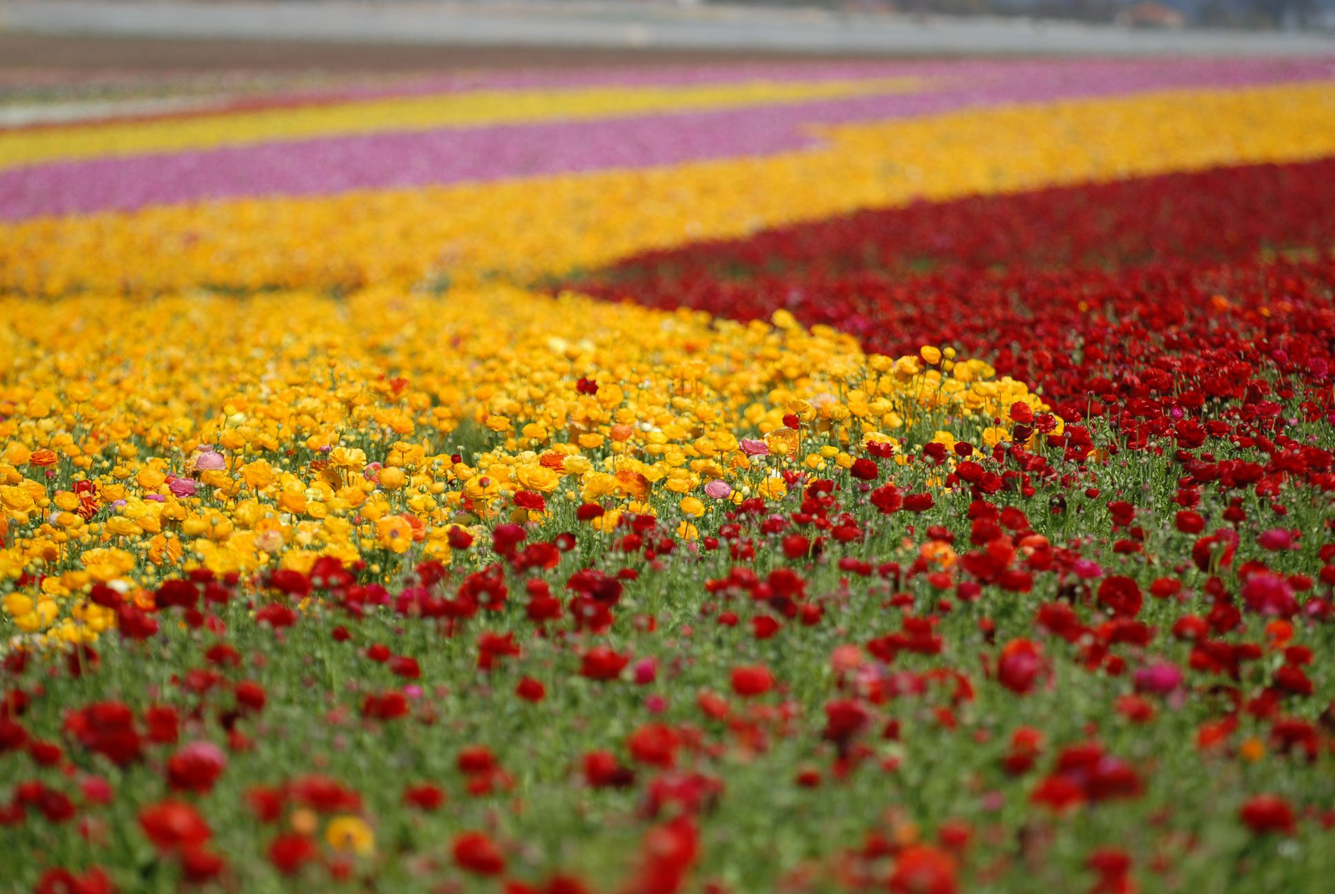 Rows of Red, Pink and Yellow Flowers