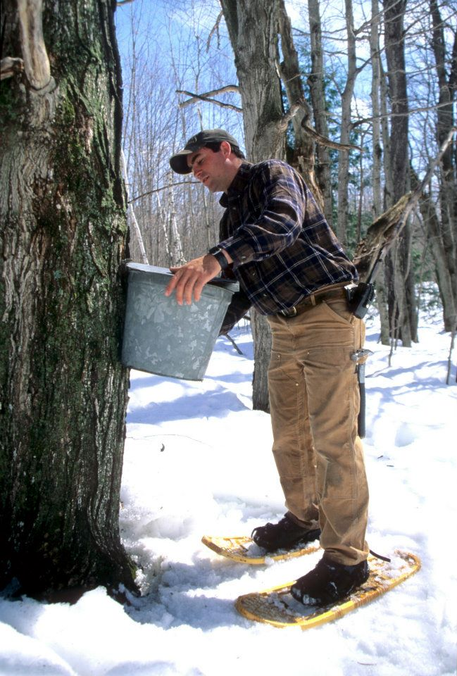Man With Snowshoes Harvesting Maple Sugar