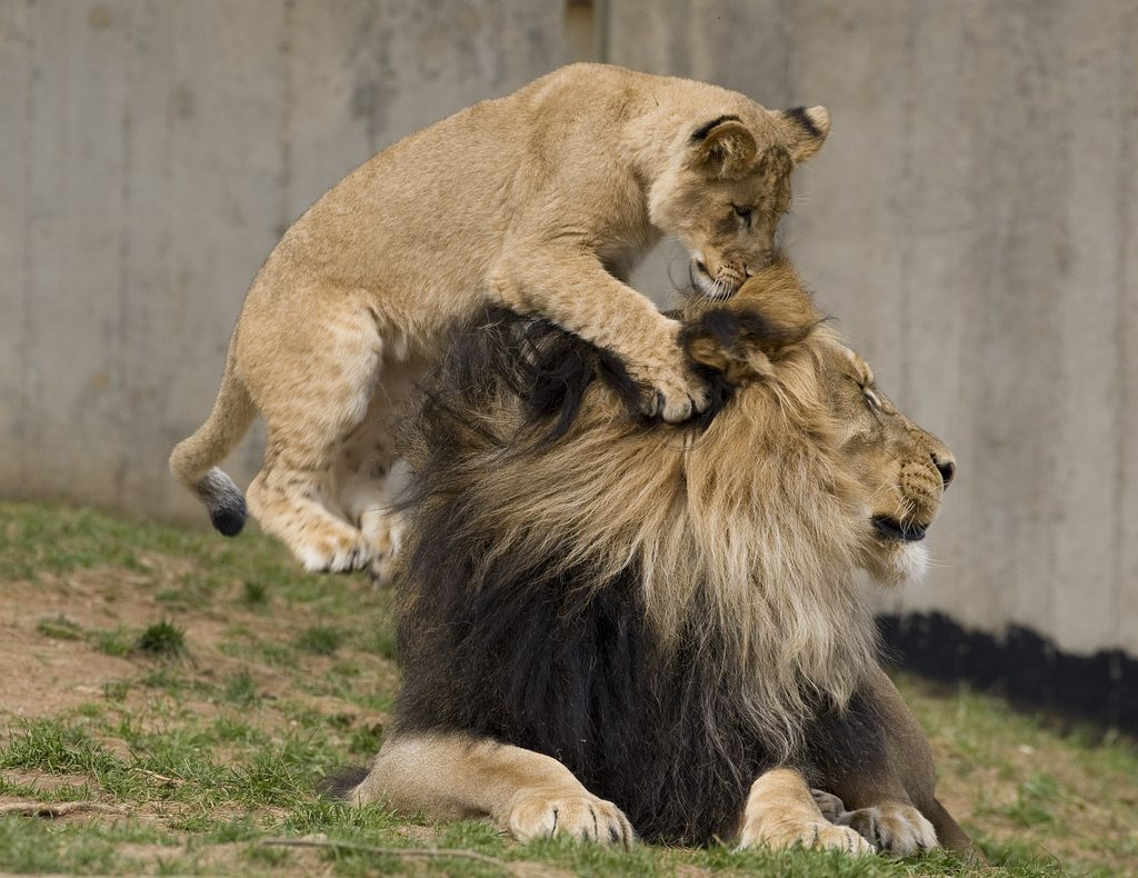 Baby Lion and Father