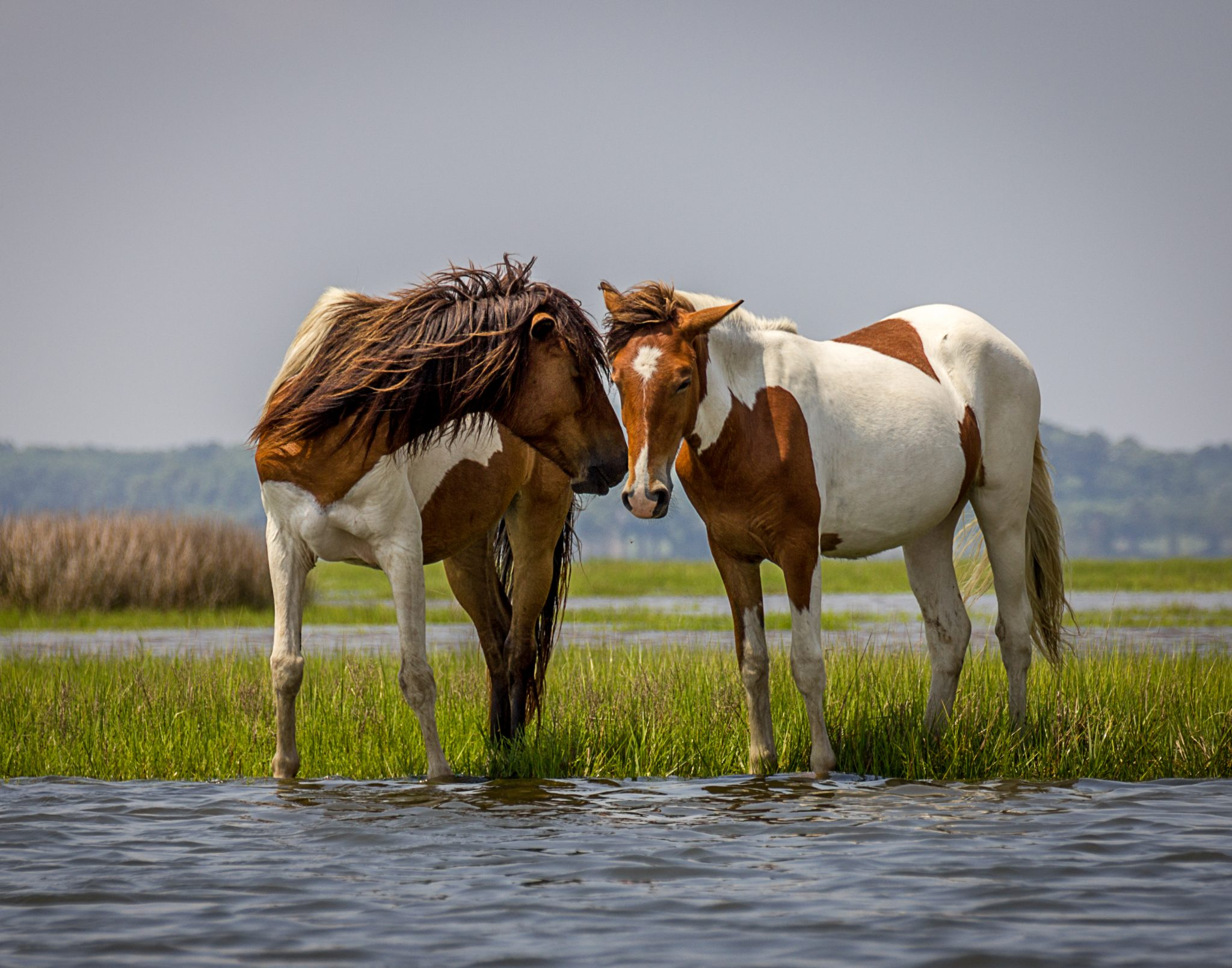 Two Wild Horses on Assateague Island