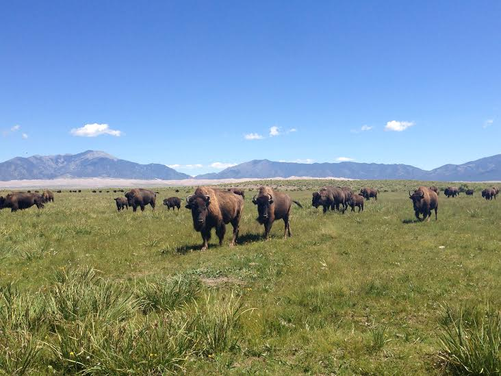 Bison Near Great Sand Dunes