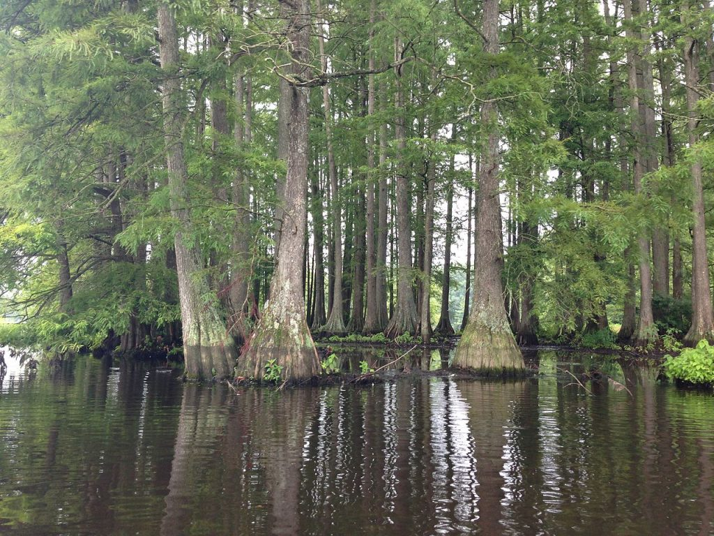 Cypress Trees in Trap Pond State Park