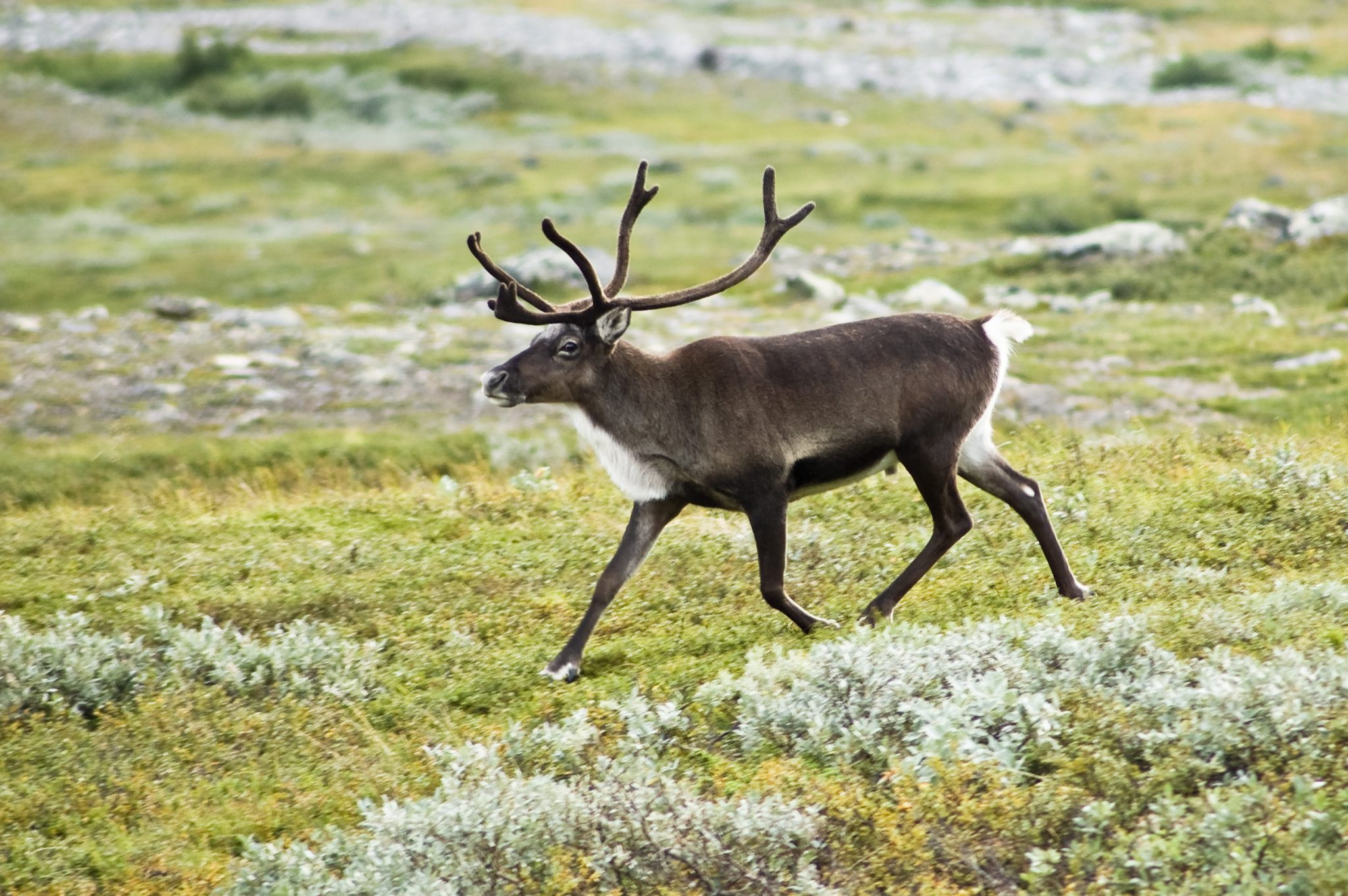 See Reindeer in the U.S.