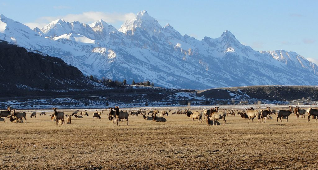 Herd of Elk With Mountains in Springtime