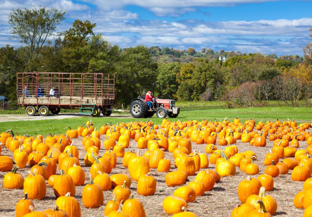 Pumpkin patch field on a farm in the fall with hayride