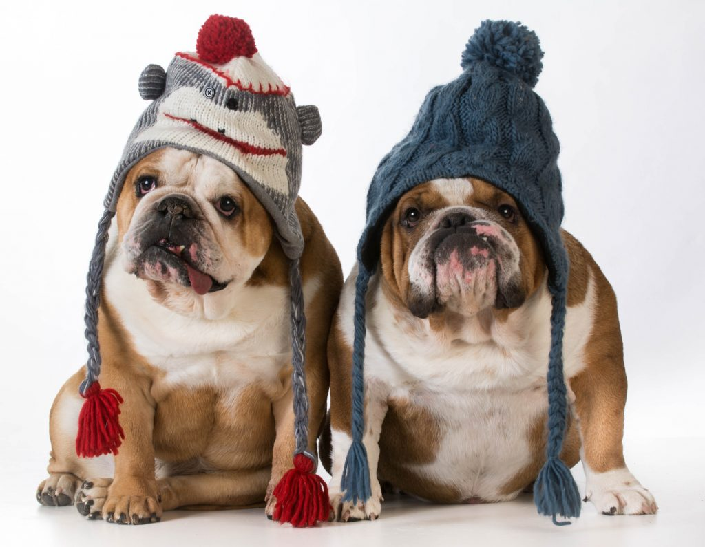 English Bulldogs with Knit Hats