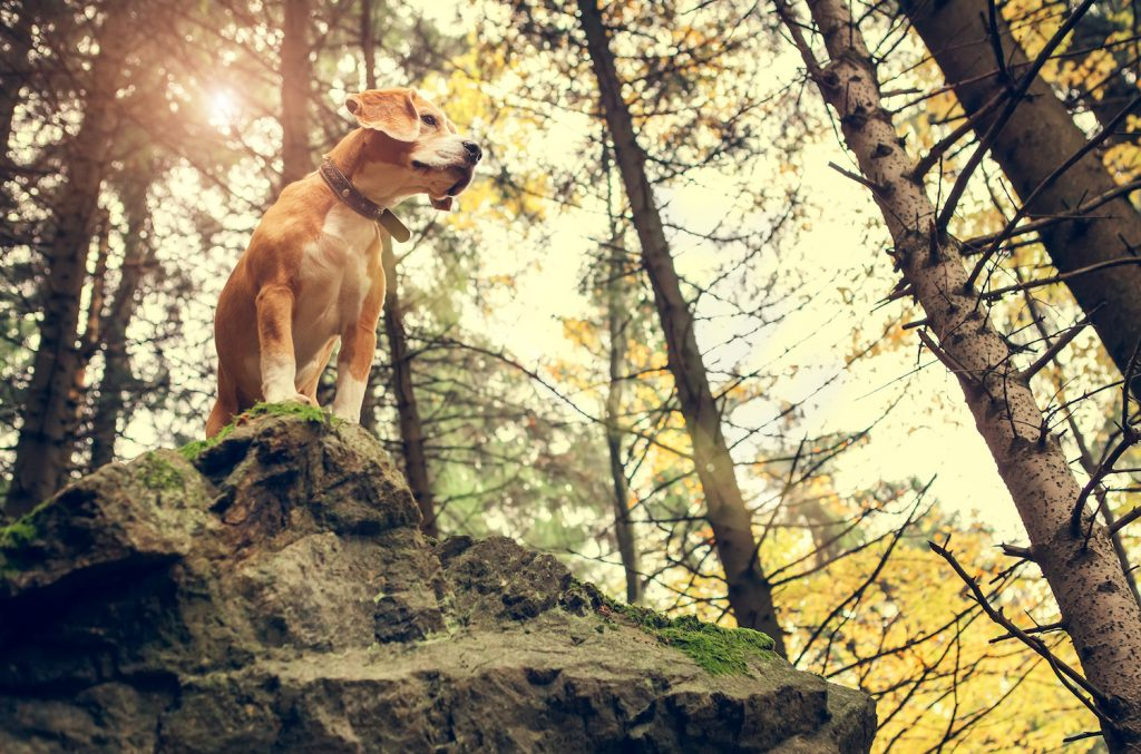 Beagle dog portrait in autumn forest