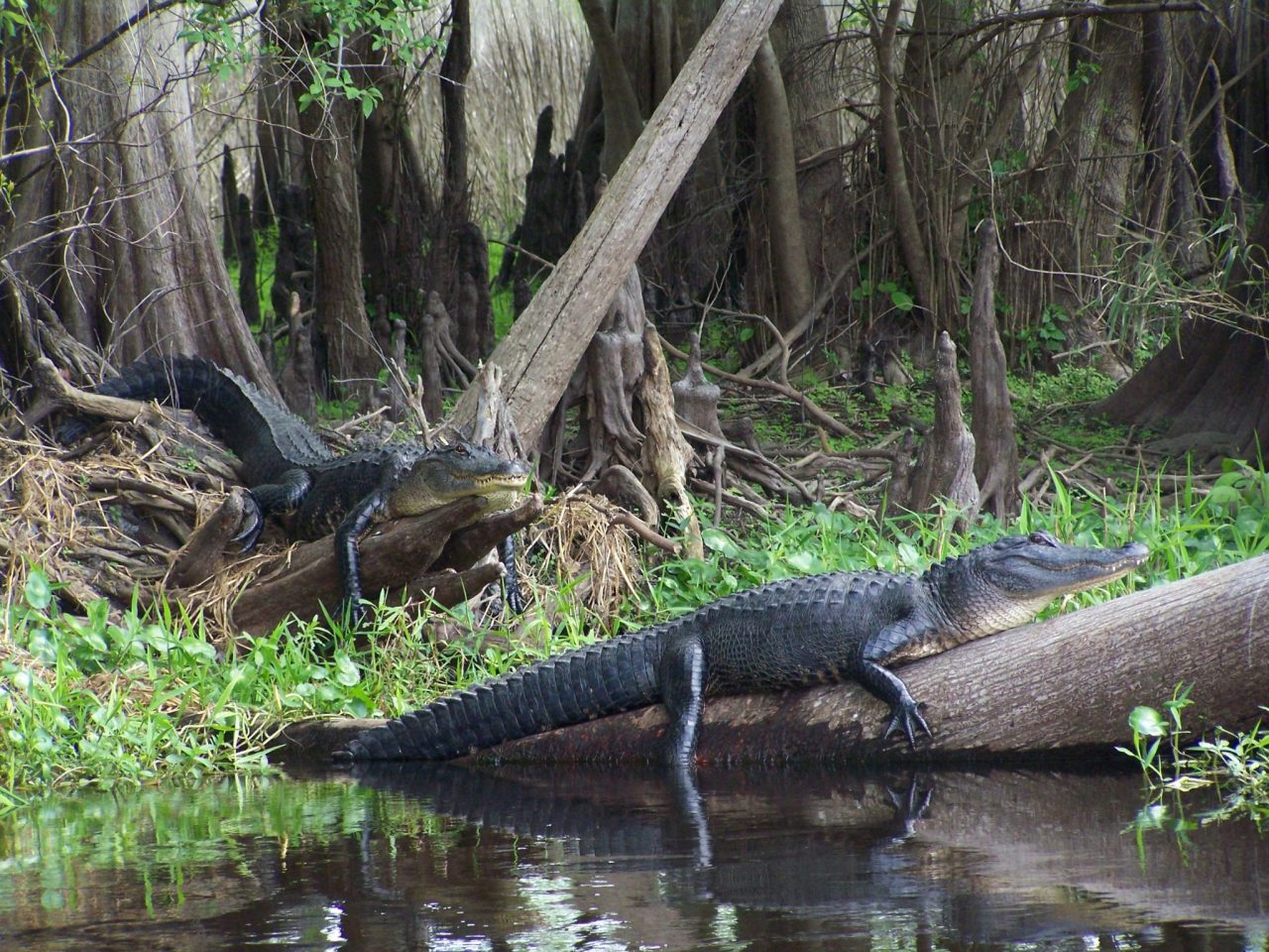 alligators on wekiva river