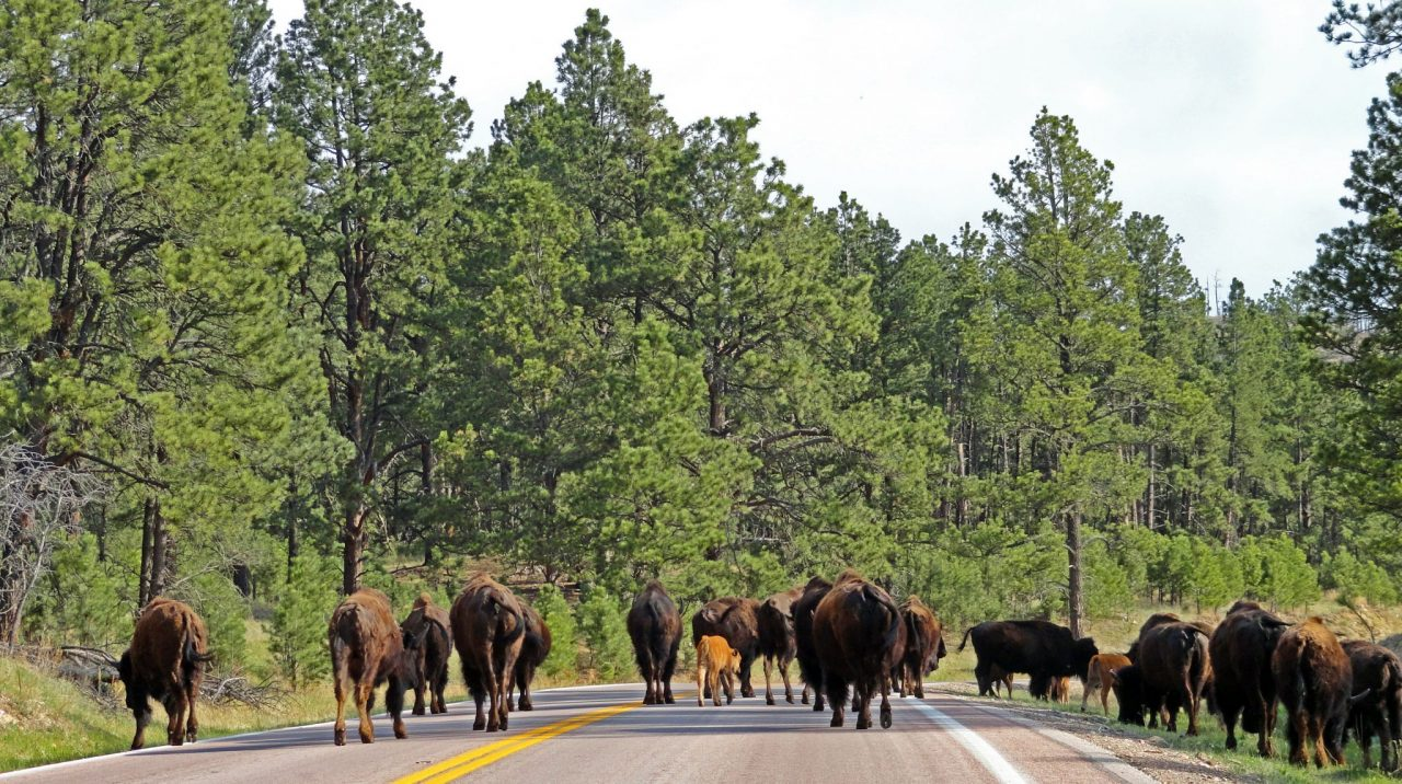 American Bison Buffalo herd in Custer State Park South Dakota