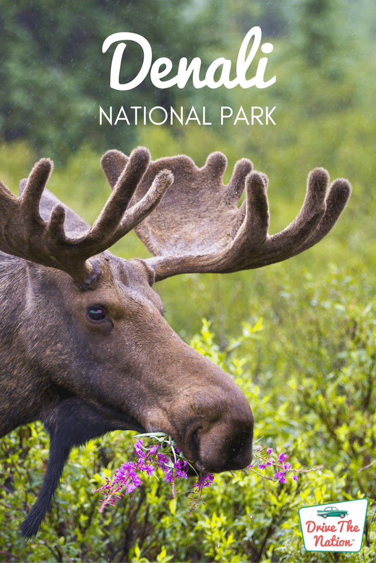 Denali welcomes almost half a million visitors each year to explore not only North America's highest peak, Mt. McKinley, but also the diverse wildlife and unique landscape.