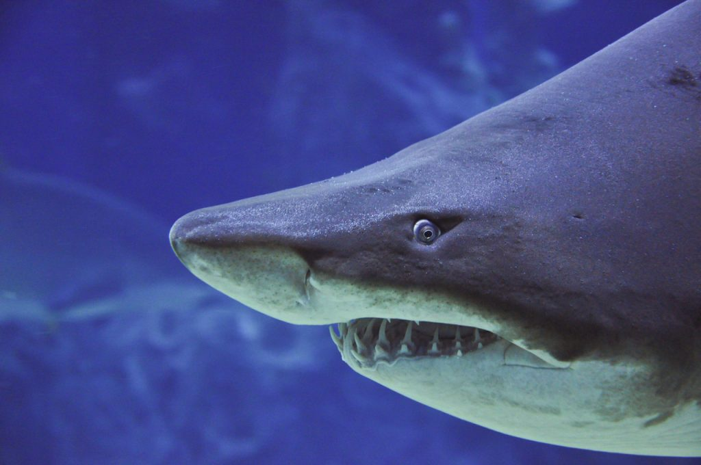 close up head shot of a sand tiger shark swimming in water