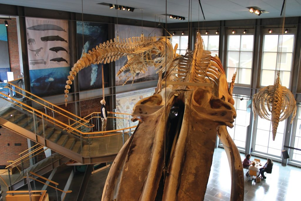 Whale Skeleton in New Bedford Whaling Museum