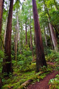 View of tall trees, greenery and a dirt walkway in the Basin Redwoods State Park California