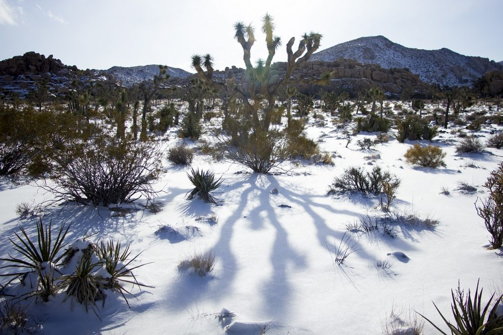 Joshua Tree National Park during winter. Covered in a snow on a sunny day.