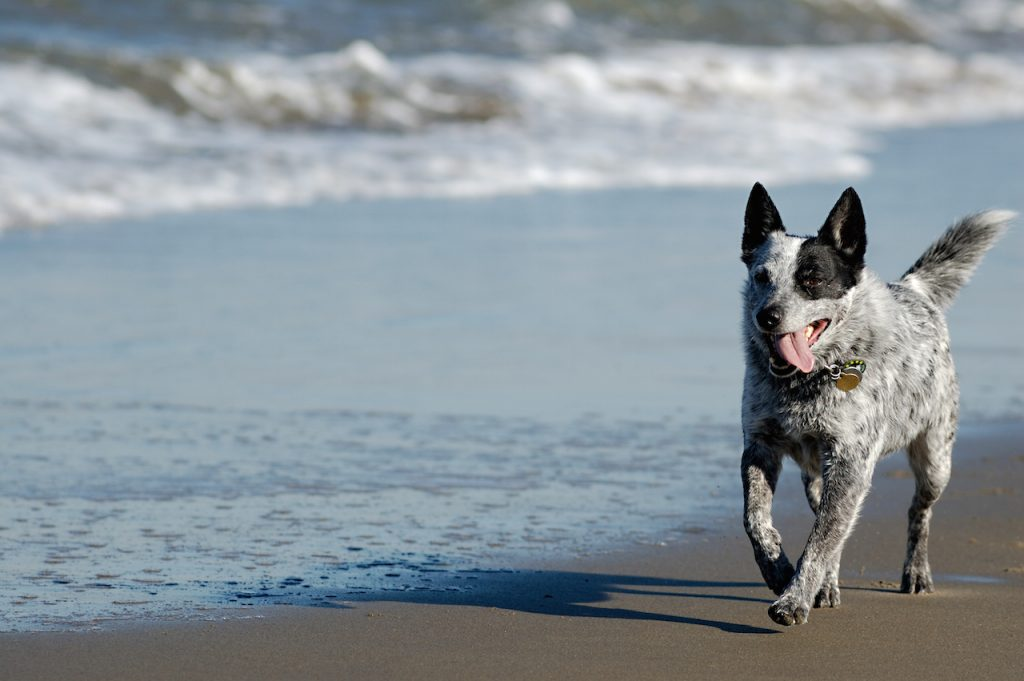 Australian cattle dog is running by San Francisco Bay.<br /> ** Note: Shallow depth of field