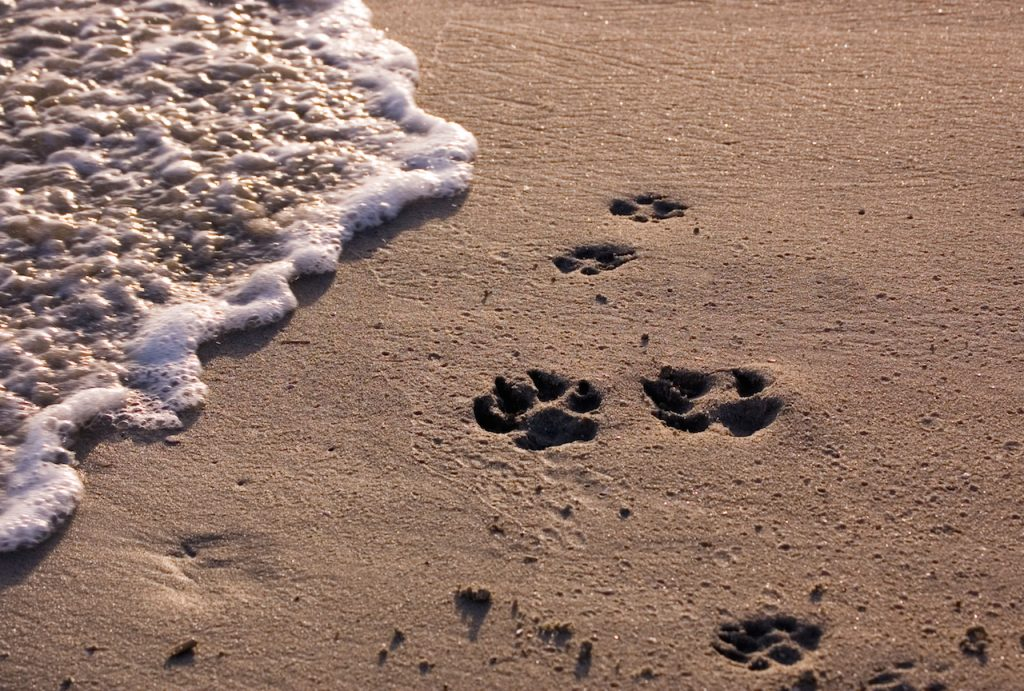 Dog paw prints on beach with surf.