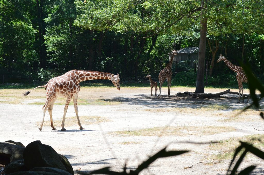 three giraffes and one baby giraffe standing in the sunshine at the the Riverbanks Zoo in SC.