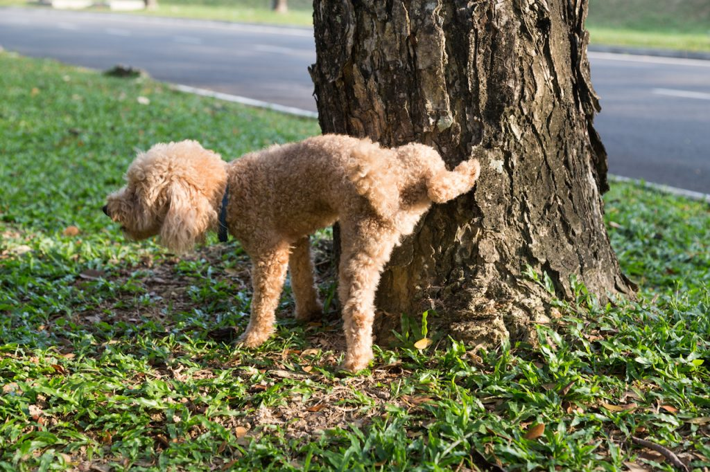 Male poodle urinating on a tree trunk
