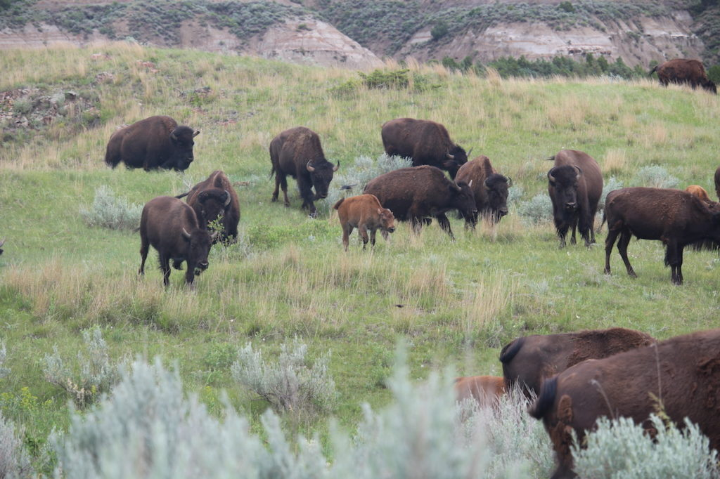 small bison herd  inside Theodore Roosevelt National Park
