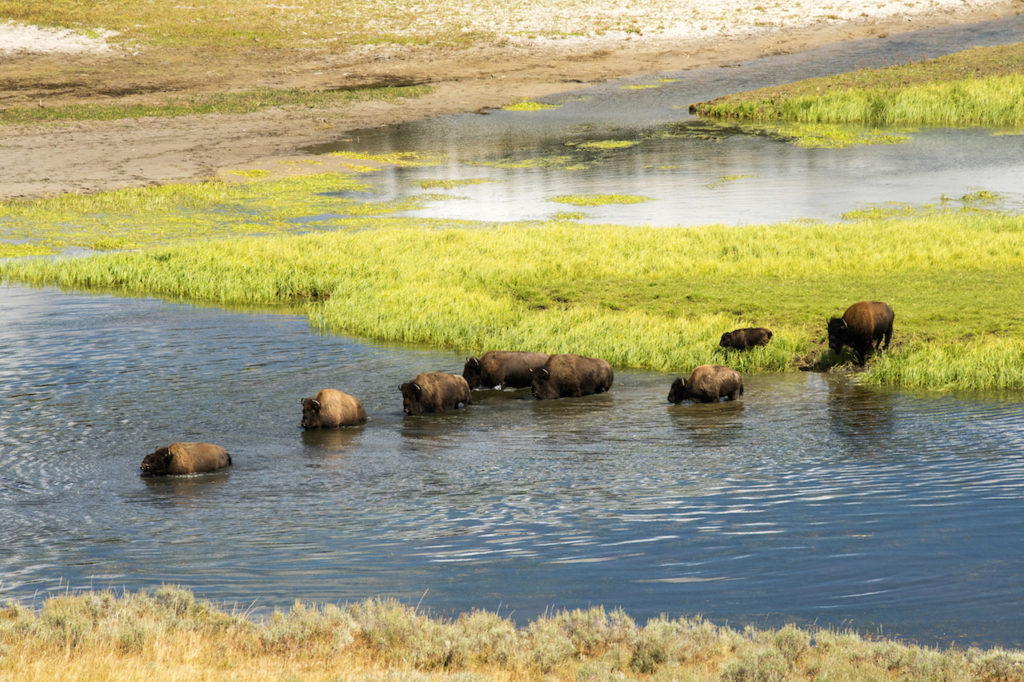 a herd of Bison crossing the yellowstone river inside of the Yellowstone National Park