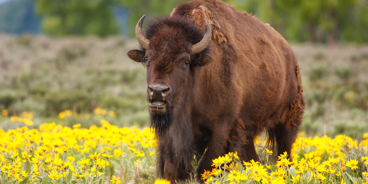 5 Places to See Bison