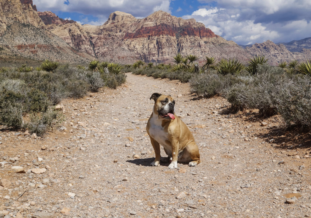Bulldog posing on the hiking trail at Red Rock Canyon ** Note: Visible grain at 100%, best at smaller sizes