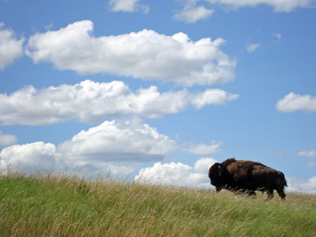 Blue skies, green grass and a giant bison inside of Theodore Roosevelt National Park