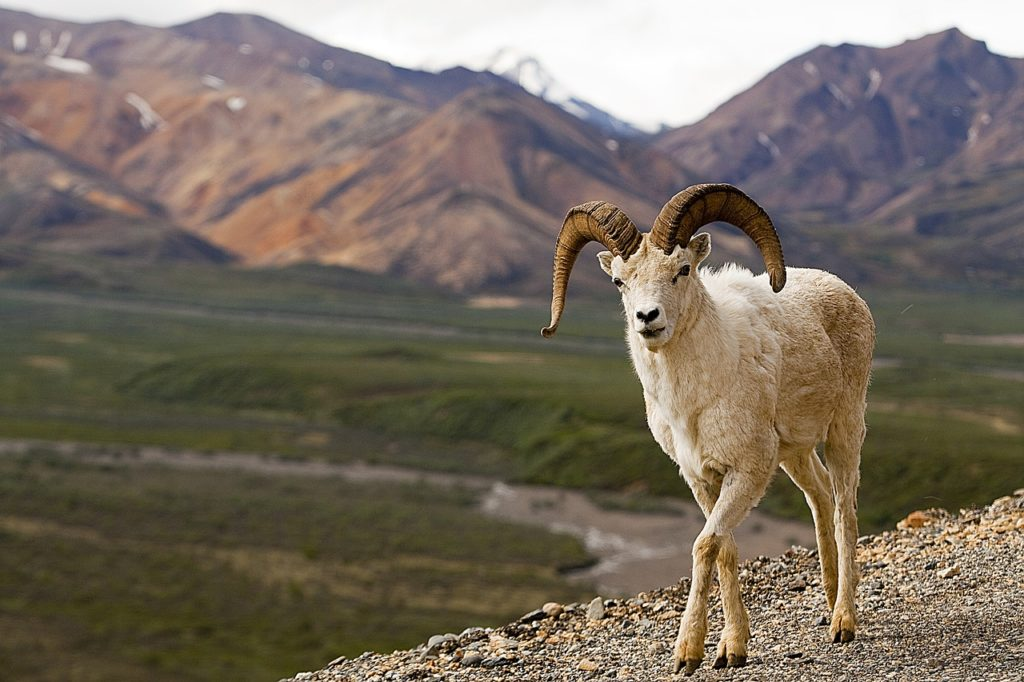 a dall sheep inside of Denali National Park & Preserve